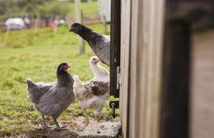 Cómo mantener pollos para huevos frescos