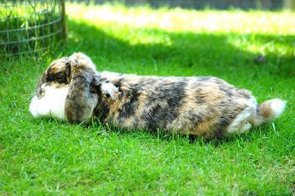 Diferencias entre un conejo de gato y un conejo doméstico