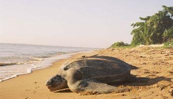 Papel de una tortuga laúd en el ecosistema
